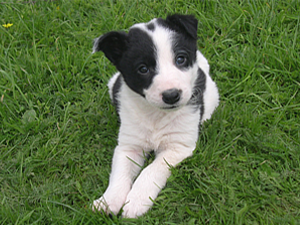 Banham Sheep Dog Puppy