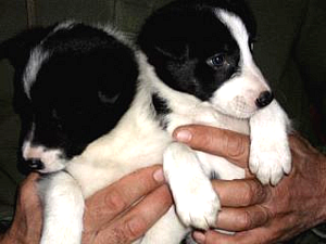Banham Border Collie Puppy